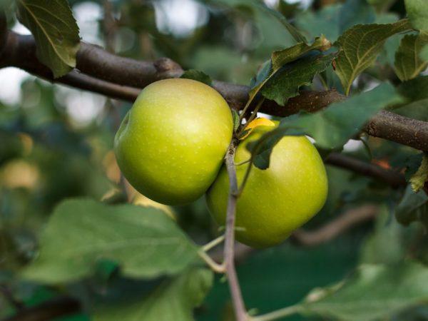 Яблоки имеют хорошие вкусовые качества