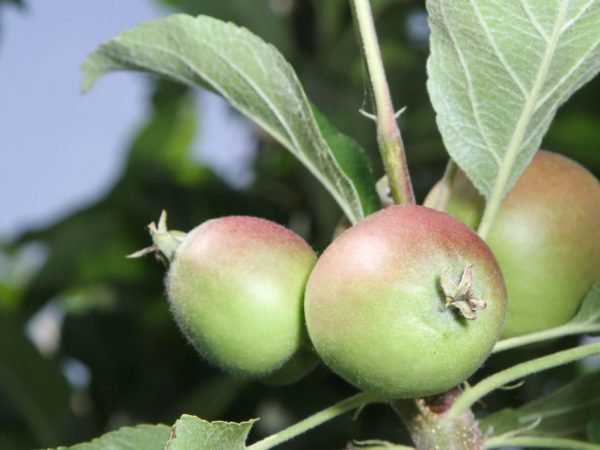 Полив и удобрения принесут свои плоды