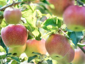 Выращивание яблони Северный Синап