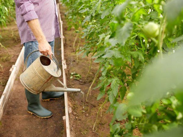 Правила подкормки помидоров нашатырным спиртом