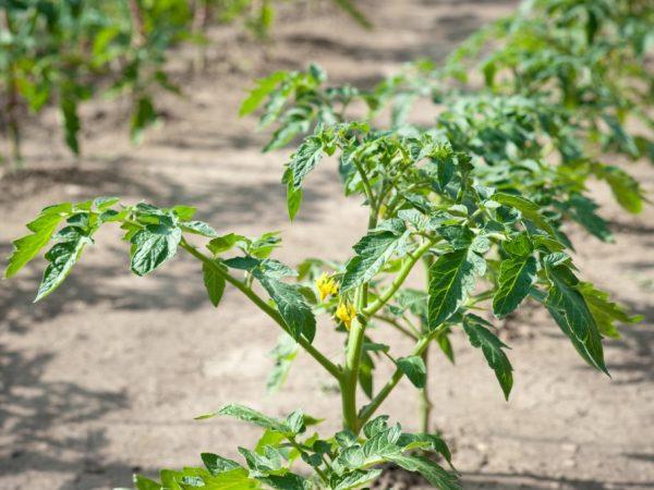 Увеличить урожайность поможет прищипывание