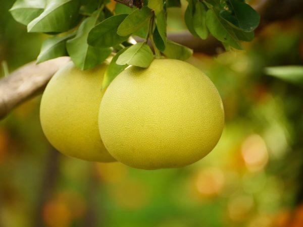 Плоды помело бывают разных цветов