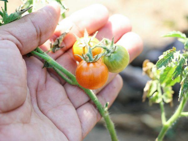 Способы борьбы с тлей на помидорах
