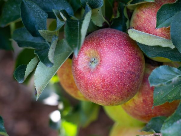 Плоды можно долго хранить с свежем виде