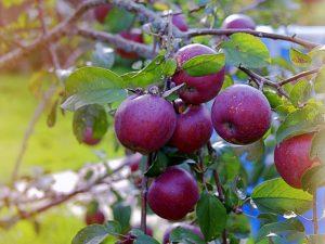 Выращивание яблони Веньяминовское