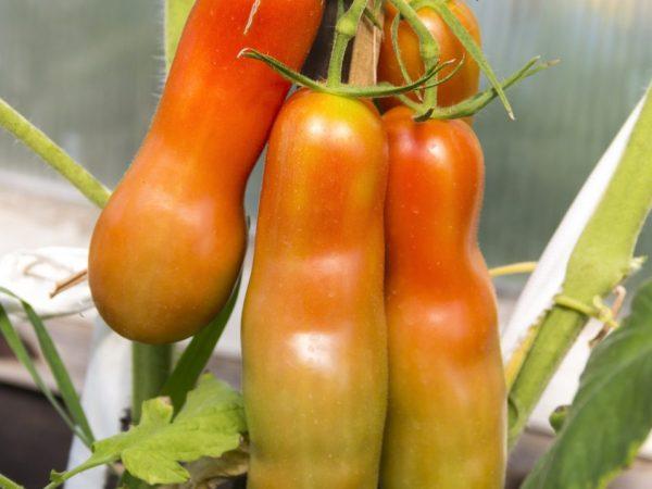 Томаты могут расти в различных условиях