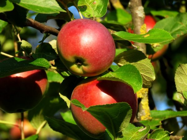 Выращивание яблони Заветное