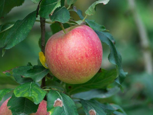 Выращивание яблони Жигулевское