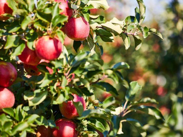 Переспелые плоды не подходят для хранения