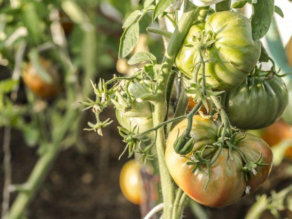 Вкусные мясистые помидоры