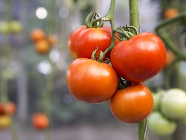 Хорошую урожайность можно получить при выращивании в теплице