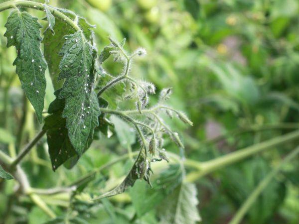 Борьба с белокрылкой на томатах в теплице