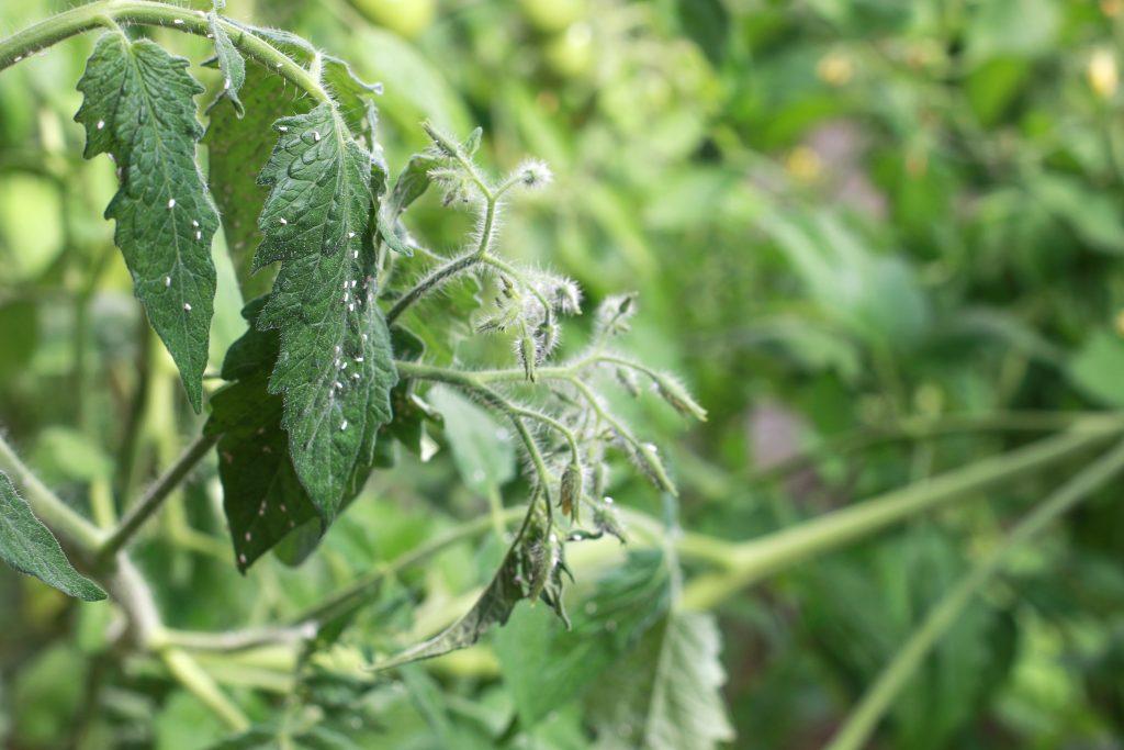 Методы борьбы с белокрылкой в теплице и открытом грунте на помидорах: как бороться народными средствами, как уничтожить и чем опасна