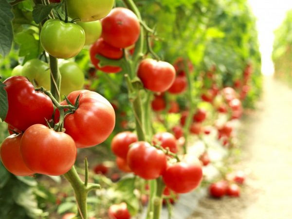 Выращивание томата Бобкат
