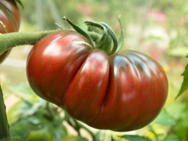 Очень плодовитый сорт