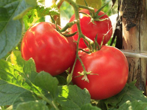 Сортовая характеристика томата Дачник