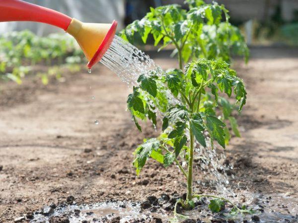 Правила подкормки рассады томатов йодом