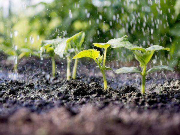Поливать растения нужно регулярно