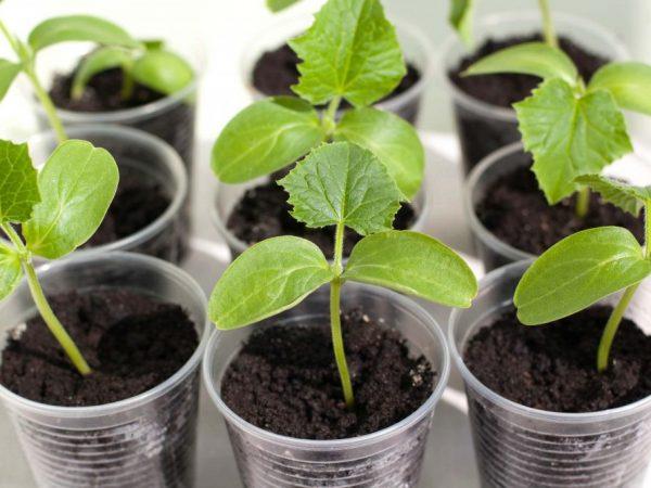 Правила подготовки семян огурцов к посеву