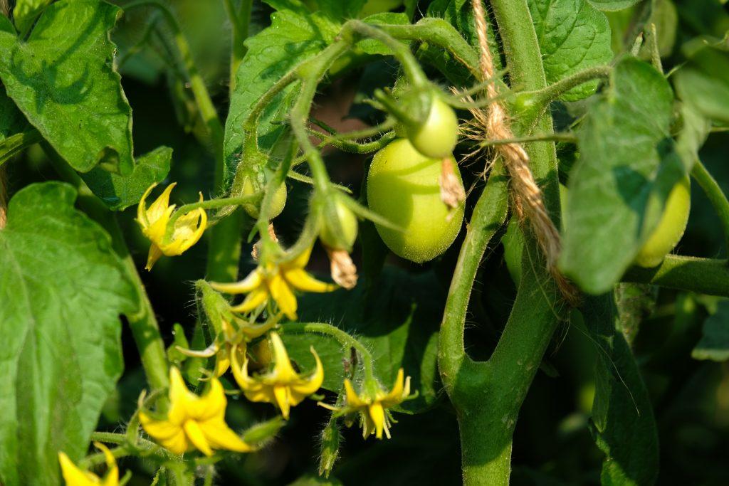 Томат Катюша характеристика и описание сорта урожайность отзывы фото