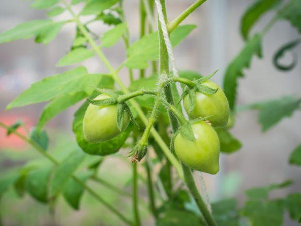 Сорт томата Клубничное дерево