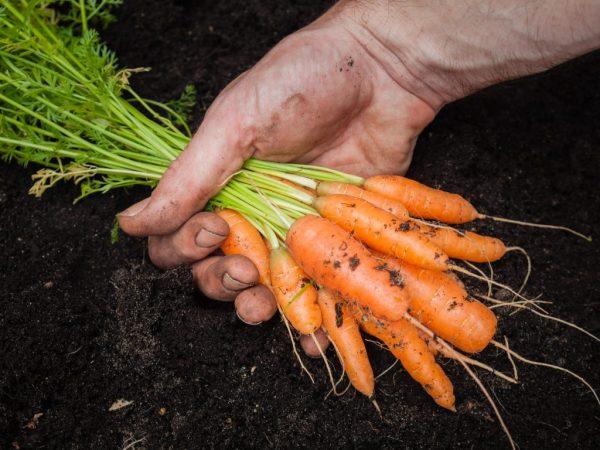 Лунный календарь поможет выбрать лучшее время для сбора урожая