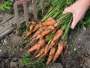 Правила уборки моркови в 2019