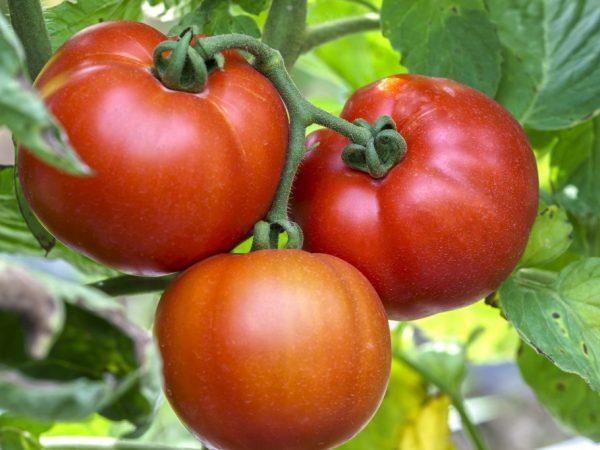 Выращивание томата Малиновый гигант
