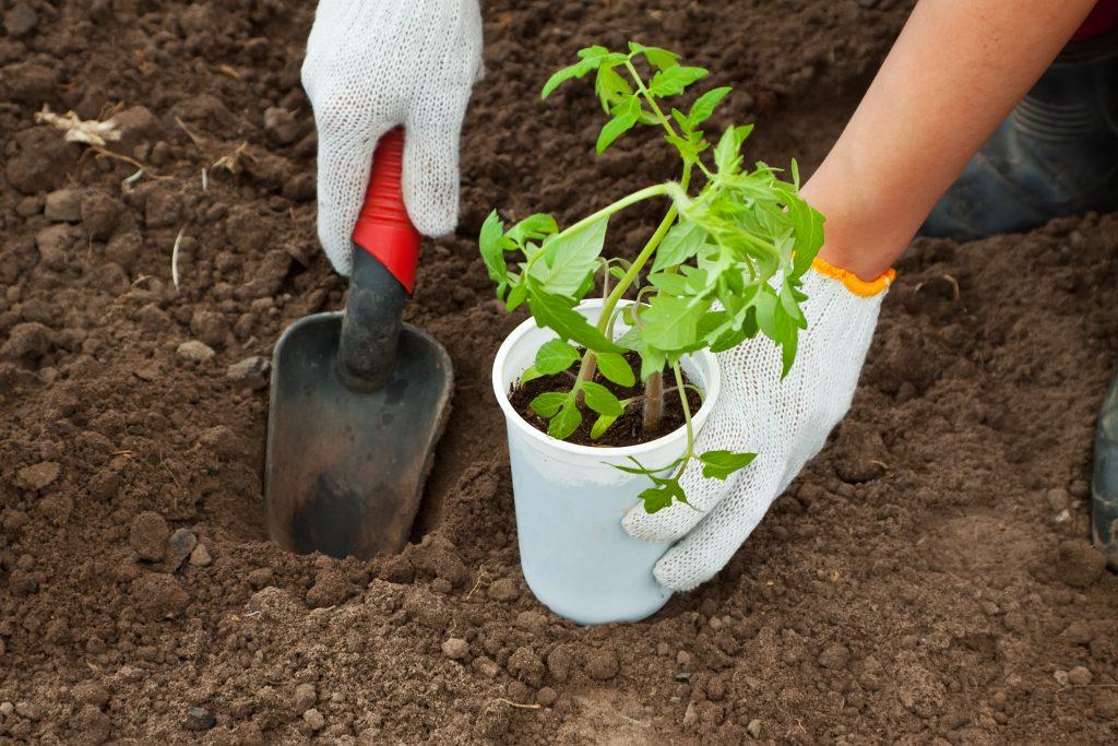 Томат Медовый гигант характеристика и описание сорта урожайность с фото
