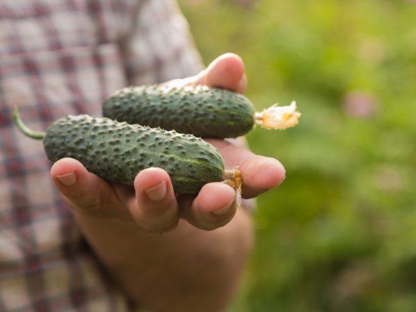 Огурцы отличаются своей урожайностью