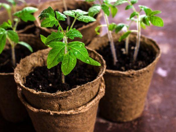 Выращивание помидоров в торфяных таблетках