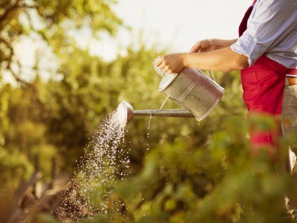 Подкормка повышает иммунитет растений