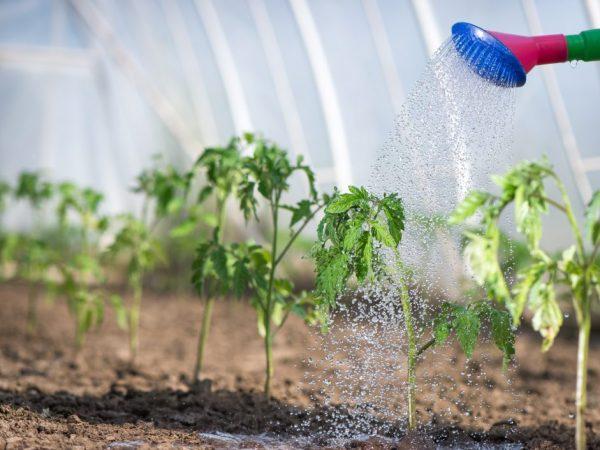 Правила использования марганца для помидоров