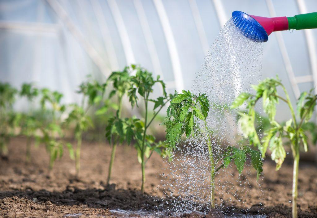 Можно ли полить рассаду помидоров марганцовкой