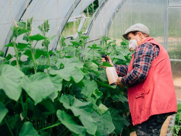 Опрыскивание позволяет обработать все пораженные части растения