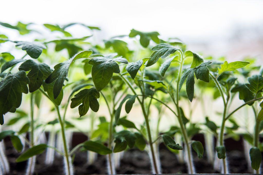 Чем полить рассаду помидор чтобы не вытягивалась
