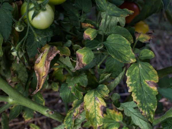 Причины увядания рассады помидор