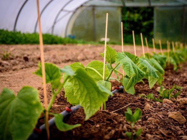 Подкормка из крапивы стимулирует рост огурцов