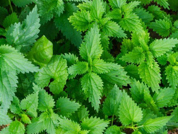 Для приготовления удобрения используйте только здоровые сорняки