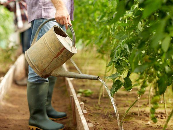 Правила применения хлебной подкормки для томатов