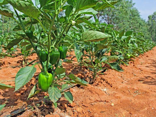 От правильности ухода зависит урожайность растений