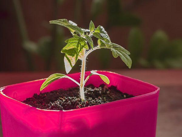 Правила выращивания томатов в ведре