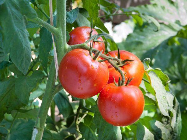 Выращивание томата Санька