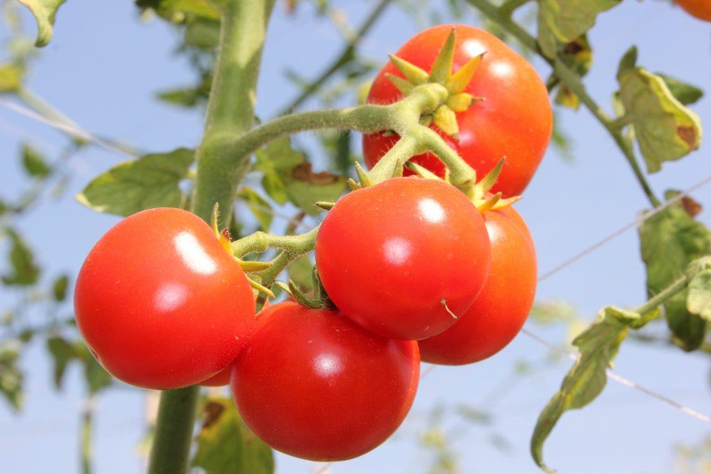 Томат Взрыв: описание и характеристика сорта, урожайность и рекомендации по выращиванию