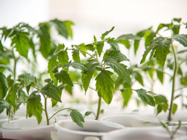 Не поливайте растения сразу после пикировки