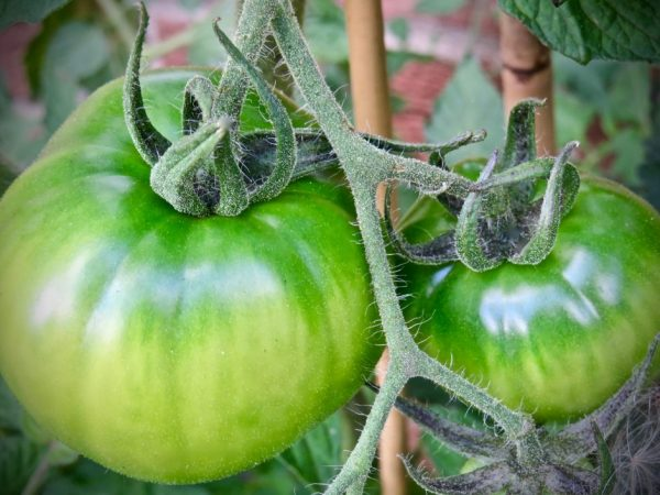 Выращивание томата Юсуповский