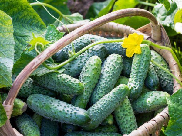Выращивание огурца Лилипут