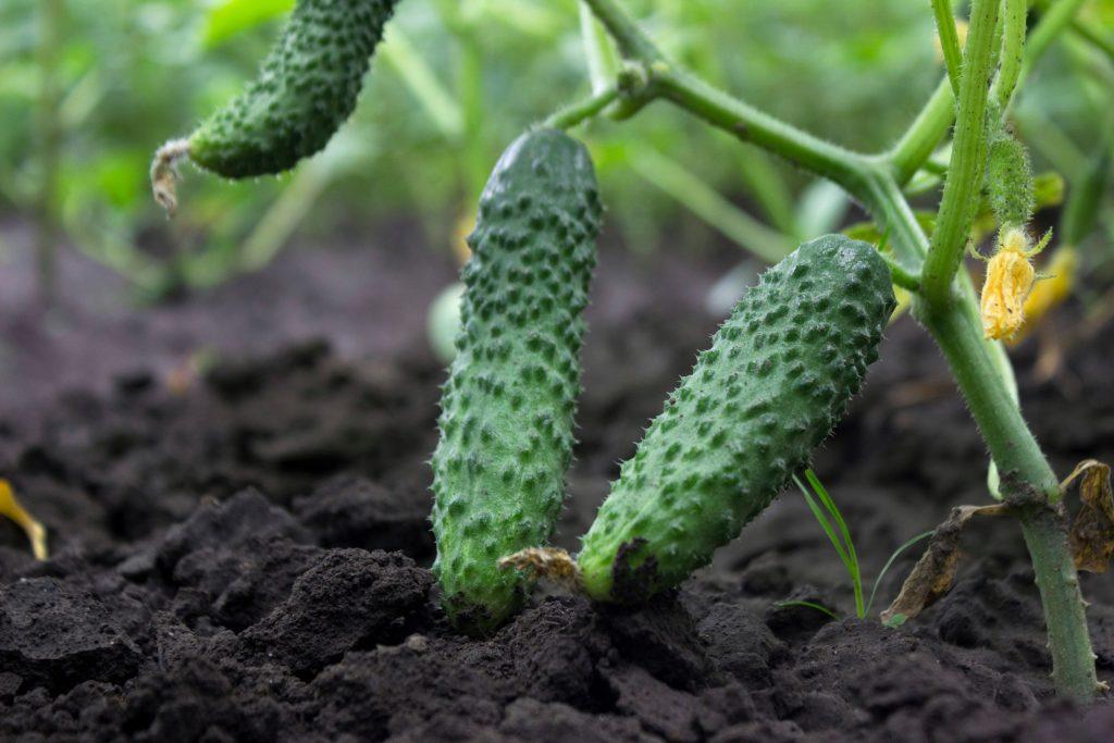 Огурец Вятский описание и характеристика сорта выращивание и уход с фото