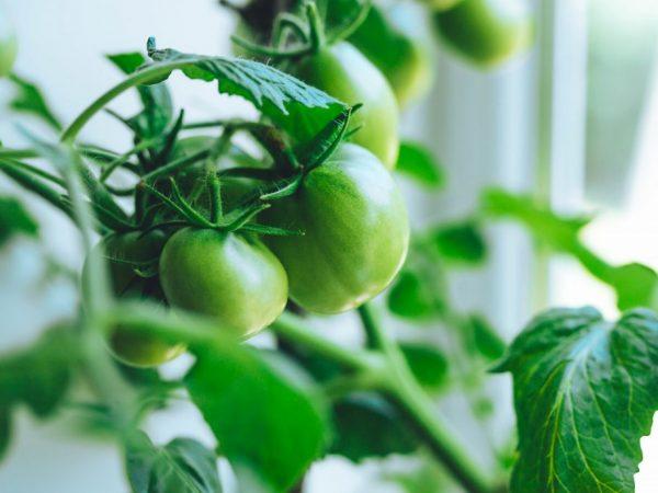 За томатами легко ухаживать
