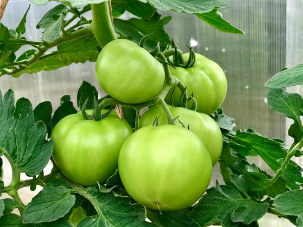 Зеленые помидоры нужно хранить в темном месте